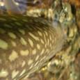 道央の岩魚 46cm