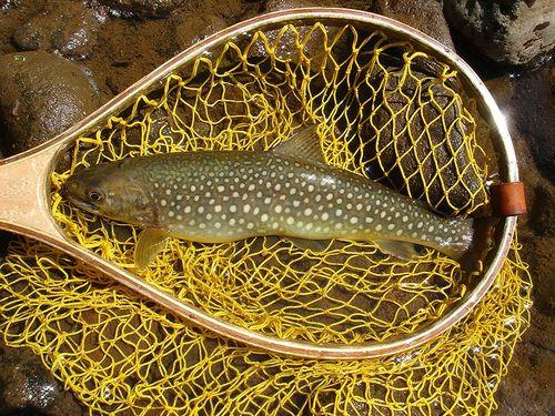 尻別川水系 尺岩魚2